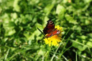 Bildet viser en sommerfugl tett på