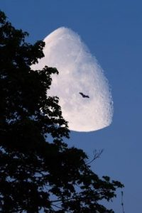 bildet viser en flaggermus som flyr foran en stor nemåne